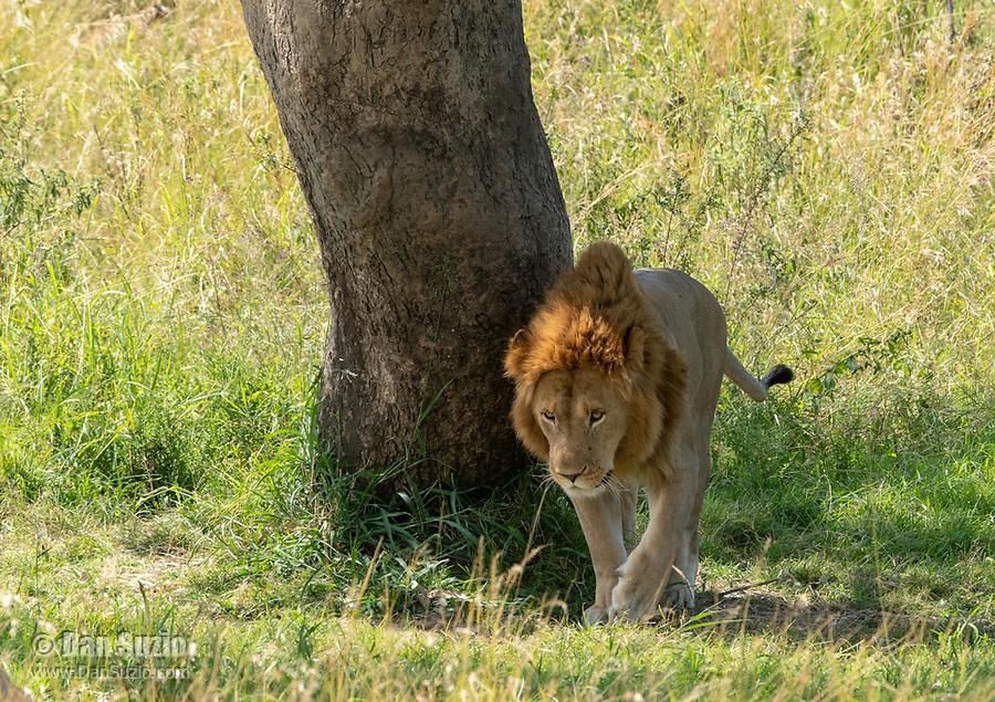 A male Lion, Panthera leo  melanochaita, beside a tree in Maasai Mara National Reserve, Kenya