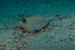 Blue Spotted stingray, Dasyatis kuhlii, Lembeh Strait, Bitung, Manado, North Sulawesi, Indonesia, Pacific Ocean