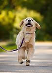 20170825 Jackie Golden Retriever Puppy
