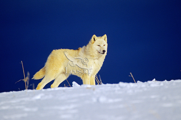 Arctic Wolf (Canis lupus) in winter.