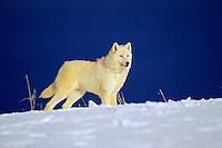 Arctic Wolf (Canis lupus) in winter.