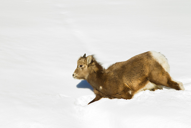 Big Horn Sheep lamb walks though deep snow in Jasper National Park, Alberta Canada, on Jan 30, 2011.  Photo by Gus Curtis