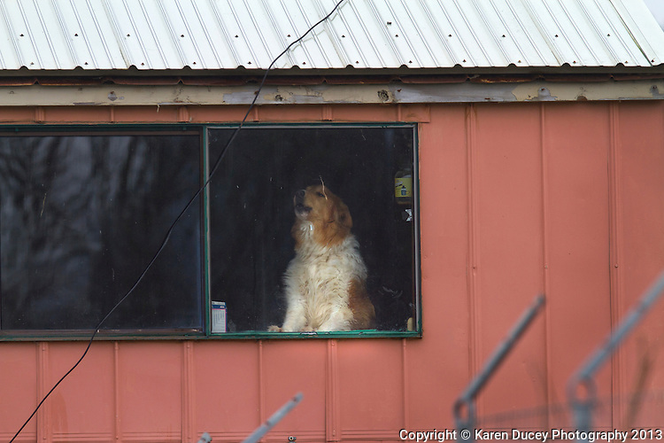 A dog named Jack howls away from within the Olympic Animal Sanctuary in Forks, WA on December 10, 2013.  It is estimated owner Steve Markwell has 124 dogs in the warehouse living in neglected, filthy conditions.    Owner Steve Markwell Markwell has been under fire for neglecting the dogs after volunteers filed a complaint in 2012. The City of Forks police department investigated and found horrific conditions but said legally they were unable to do anything about it. Markwell claims he has 125 dogs inside and believes he is their last hope.  Many of the dogs were turned over to him by rescues and shelters who deemed them dangerous. Mounting evidence of animal cruelty has prompted many of them to ask for their dogs back.  Markwell refuses and only lets a few trusted volunteers enter the premises. (photo © KarenDucey.com)