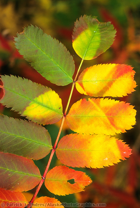 Sumac in autumn foliage, George Parks Highway, Interior Alaska