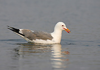 California Gull - Larus californicus - Adult breeding