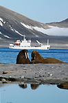 Le morse (Odobenus rosmarus) est  un geant emblematique de ces terres arctiques. Pourchasse jusqu en 1952 par la folie des chasseurs, il a failli disparaitre de l archipel. Aujourd hui, sa population s est peu a peu reconstituee (environ 2000 individus) et on peut l observer assez facilement au nord du Svalbard.