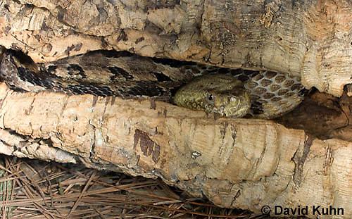 0601-0903  Timber Rattlesnake Hiding/Resting in Log Crevice (Canebrake Rattlesnake), Crotalus horridus  © David Kuhn/Dwight Kuhn Photography