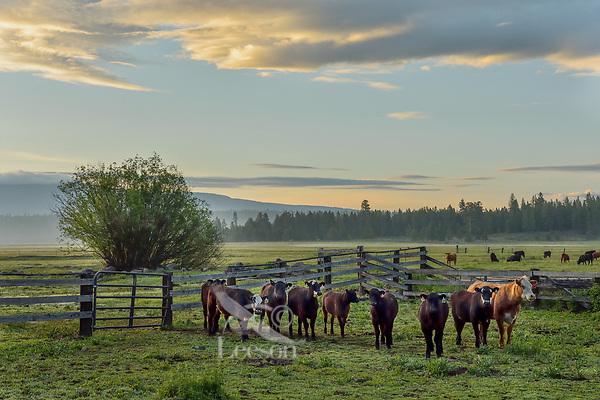 Cows, Timmerman Ranch, OR.  May.  Morning.