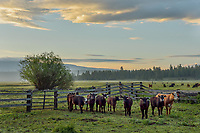 Cows, Timmerman Ranch, OR.  May.  Morning.