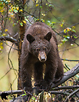 Subadult cinnamon black bear. Grand Teton National Park, Wyoming.