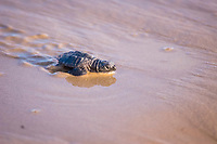 Kemp ridley turtle, Lepidochelys kempii, South Padre Island, Texas, Atlantic