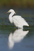 Snowy Egret (Egretta thula), adult, Sinton, Corpus Christi, Coastal Bend, Texas, USA
