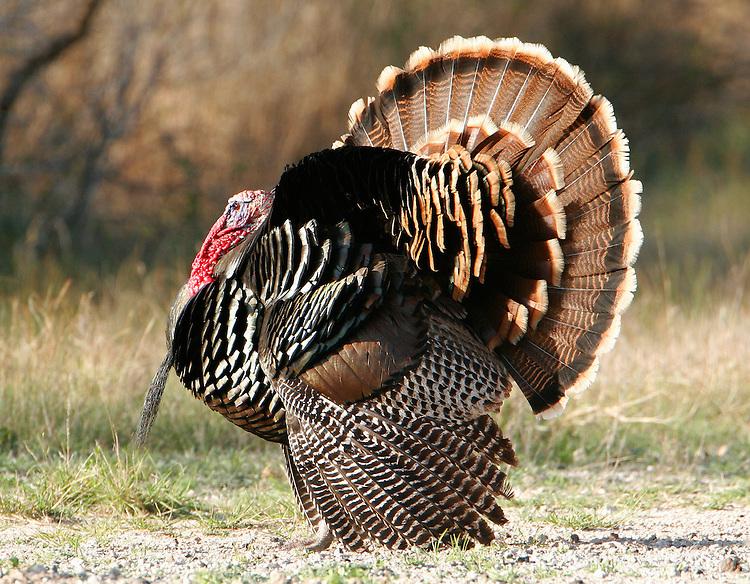 Adult male Rio Grande wild turkey displaying