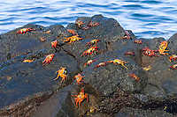 Sally lightfoot crabs (Grapsus grapsus) on rock, the darker crabs are the younger ones