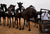 Dark camels with tassles line up for the camel beauty contest judging. Over 140 cars and trucks were given as prizes, but the camel, once Bedouins only transportation in the desert is beloved.