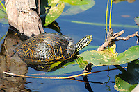 Florida Cooter Turtle. Photographed at Wakdahatchee Wetlands, Delray Beach, Florida.