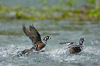 Harlequin Duck males fighting over females (Histrionicus histrionicus) along fast flowing mountain stream.  Pacific Northwest.  Spring.
