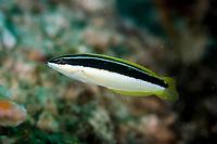Pixie Coris, Coris pictoides, Wainilu dive site, Rinca Island, Komodo National Park, Indonesia, Indian Ocean