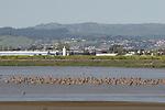 Shorebird at Hayward Regional Shoreline
