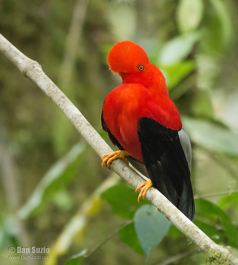 Male Andean cock-of-the-rock, Rupicola peruviana, displaying at a lek at Refugio Paz de las Aves, near Nanegalito, Ecuador