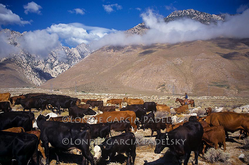 Cattle roundup in the Owens Valley, California