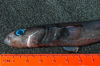 close-up of a bioluminescing pygmy shark, Euprotomicrus bispinatus (c), next to a ruler to show scale; with glowing blue photophores (light organs) visible on skin; this is one of the smallest species of sharks; this specimen about 6 inches (16 cm) long; belongs to family Etmopteridae ( lantern sharks ) in order Squaliformes ( dogfish sharks ); live in deep water by day (to at least 1300 ft) and may rise to surface at night; Kona, Hawaii ( Central Pacific Ocean )