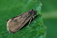 Kleiner Rauch-Sackträger, Sackträger, Psyche casta, bagworm, Echte Sackträger, Psychidae, bagworm moths, bagworms, bagmothLaubholz-Sackträger, Rauhaariger Sackträger, Sackträger, Raupe, Larve in ihrem Gespinstsack, Raupensack, Sterrhopterix fusca, Sterrhopterix hirsutella, bagworm, Echte Sackträger, Psychidae, bagworm moths, bagworms, bagmoths