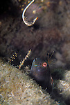Seaweed Blenny staring at a rusty fish hook