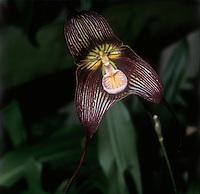 Dracula vampira, orchid species black flower