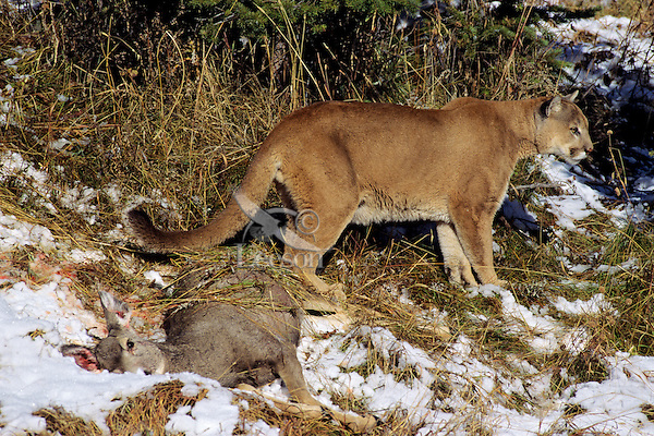 Mountain Lion with freshly killed deer. (Puma Concolor).  This cougar has already started covering the deer carcass with grass and twigs to hide it from birds and other scavengers.