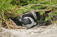 Jackass Penguin (Spheniscus demersus), adult, sitting in nesting burrow under vegetation, Simon's Town, Cape Peninsula, South Africa, Africa