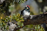 Male Acorn Woodpecker (Melanerpes formicivorus) sitting on an oak tree limb.  California.