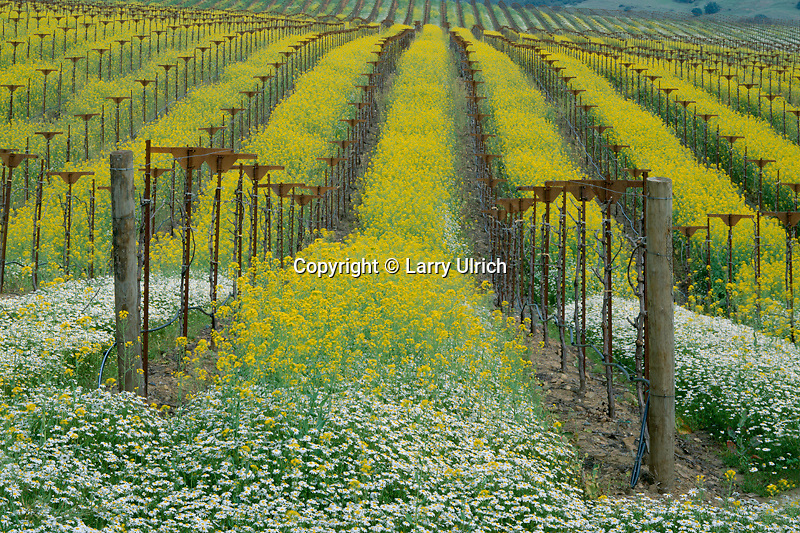 Daisies and mustard in vineyard<br />
