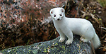 Canada, Manitoba, Churchill, stoat (Mustela erminea), also known as the short-tailed weasel or ermine