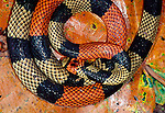 A coral snake from the Amazon basin in Peru, has no need to match the forest floor as its deadly poison is enough to warn predators.