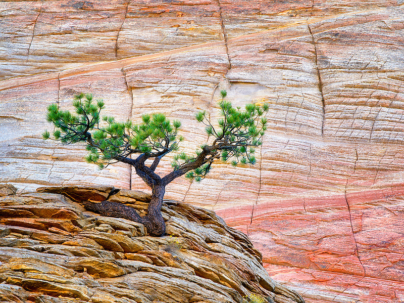 Bonsai ponderosa pine tree struggling to survive and Cherboard Mesa.  Zion National Park, Utah.