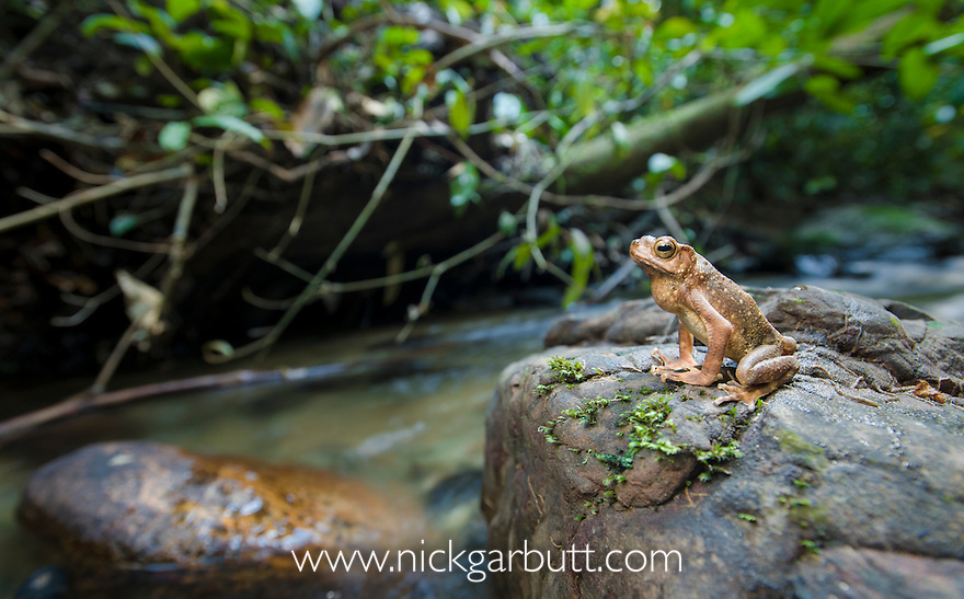 Borneo River Toad (Bufo asper) on stream side stone. Danum Valley, Sabah, Borneo.