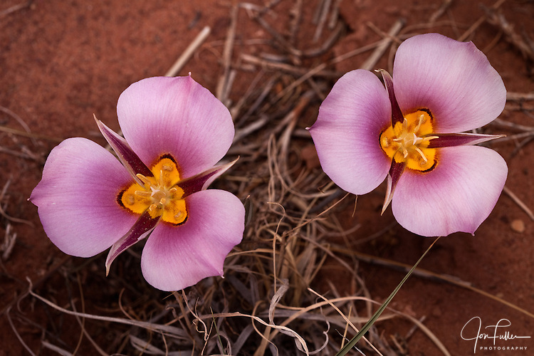 Pink Sego Lilies bloom in the desert in Canyonlands National Park, near Moab, Utah.