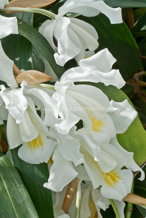 Coelogyne cristata var. lemoniana fragrant orchid species with beautiful wavy white flowers with yellow center on lip. Epiphytic tropical orchid from eastern Himalayas and Vietnam