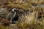Magellanic Penguin - Falkalnd Is.