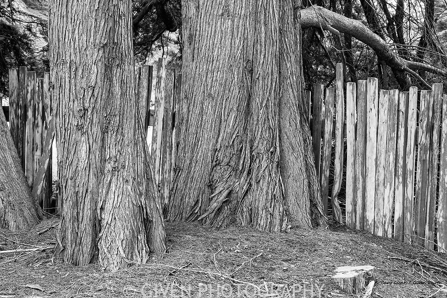 Cypress trees and fence, Sonoma County, California