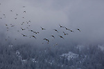 Geese flying on a foggy, cold winter day getting ready to migrate south