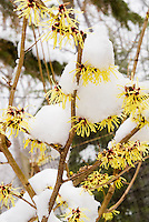 Hamamelis Pallida in flower in winter snow