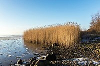 Reeds in wetland at the sea shore photographed agains a blue winter sky with the beach and stones in foreground