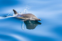 Common dolphin (delphinus delphis) Gulf of California Mexico, Pacific Ocean