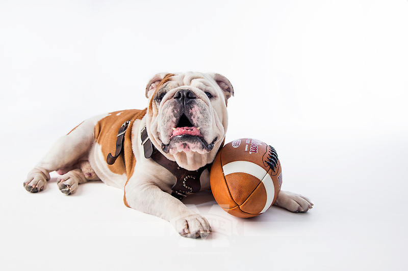 Champ (Bully XX) with football on white studio background. (photo by Beth Wynn / © Mississippi State University)