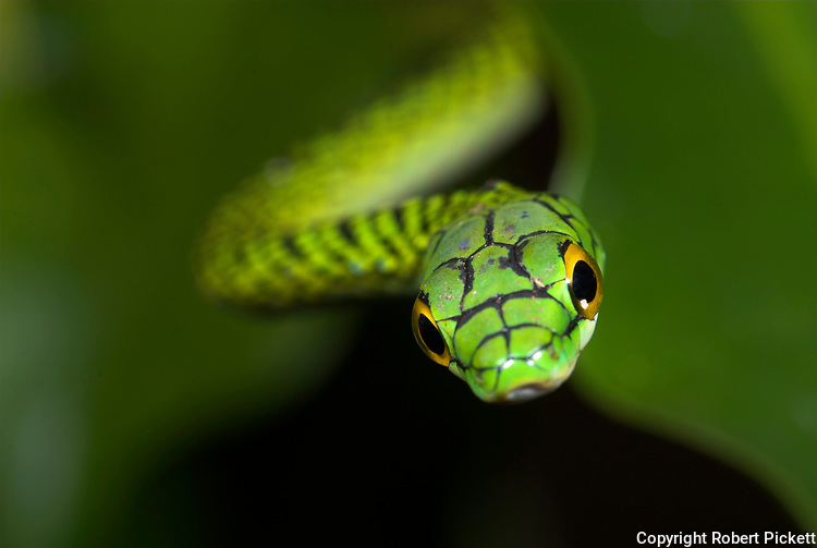 Black Skinned Parrot Snake, or Green Parrot Snake, Leptophis ahaetulla nigromarginatus, Iquitos, Peru, arboreal, day active, opens mouth wide when threatened, aggression, amazonian jungle, soft focus, abstract, green.