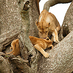 Lioness taking care of the cub