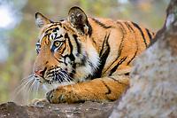 Bengal tiger, Indian tiger, Panthera tigris tigris, endangered species, Bandhavgarh National Park, India