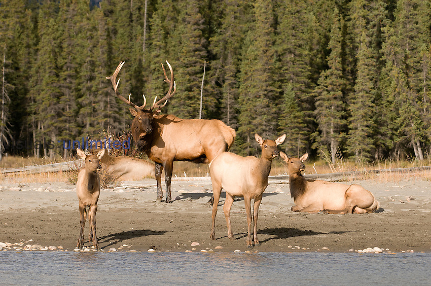 Bull Elk (Cervus elaphus) with harem of Cows, Jasper National Park, Alberta, Canada.